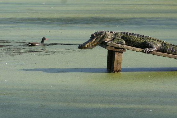Tålmodig alligator venter på det rette øjeblik.